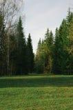 Julgranar för röjningar för vårsolnedgångskog Royaltyfri Foto
