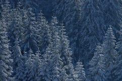 Julgranar i snowen Royaltyfria Bilder