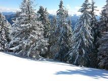 Julgranar med snö Arkivbild