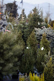 Julgranar på till salu skärm Royaltyfri Bild