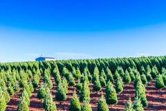 Julgranar på den röda jordningen i lantgården, landssida Arkivfoto