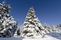 Julgranar som täckas med Snow Arkivbilder
