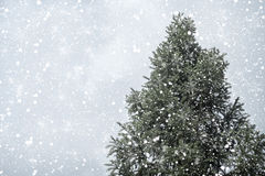 Julgranen sörjer eller gran med snöfall på himmelbakgrund i vinter Royaltyfri Foto