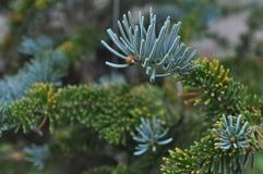 Julgranfilialer gräsplan och blått Royaltyfri Bild