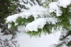 Julgranfilialer som kura ihop sig i snö arkivfoton