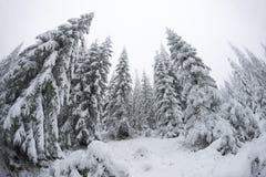 Julgranstandung som är högväxt i det kalla vädret Arkivfoto