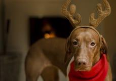 julhund Royaltyfri Bild