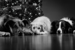 Julhundkapplöpning Fotografering för Bildbyråer