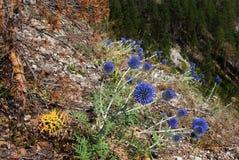 Juli blüht auf der Seite des Felsens Stockfoto