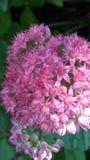 Juli blom Royaltyfri Fotografi