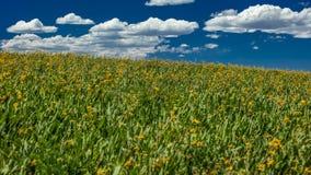 Juli 14, 2016 - gula mulor gå i ax fältet och vita pösiga moln i San Juan Mountains, Hastings Mesa, nära den sista dollarranchen, Royaltyfri Fotografi