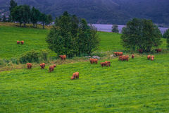 26. Juli 2015: Herde von skandinavischen Kühen nahe Roros, Norwegen Lizenzfreie Stockbilder