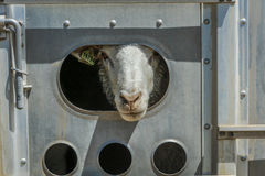 17. Juli 2016 - Nahaufnahme von Schafen auf Hastings MESA nahe Ridgway, Colorado vom LKW Lizenzfreie Stockbilder