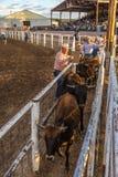 JULI 18, 2017 NORWOOD COLORADO - cowboyer förbereder tjurar förbereder San Miguel Basin Rodeo, San Miguel Västra häst royaltyfri bild