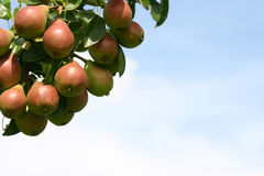 juli pears Arkivfoton