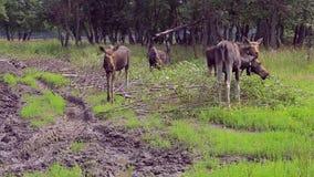 Juli 27, 2018 Ryssland, staden av Kostroma, Sumarokovo älglantgård Älgskrubbsår på kanten av skogen stock video