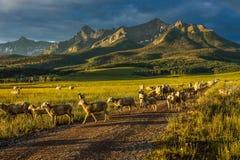 17 juli, 2016 - Schapen rgraze op Hastings Mesa dichtbij Ridgway, Colorado van vrachtwagen Royalty-vrije Stock Afbeeldingen