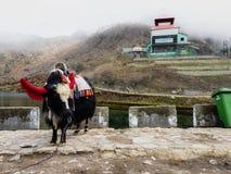 Juli 2018, sikkim Indien, en rida yak som dekoreras i klänning och klockor nära tsomgosjön på sikkim Indien royaltyfri bild