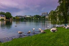 19 juli, 2015: Vogels door het Breiavatn-meer in Stavanger, Noorwegen Stock Fotografie