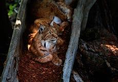 1 juli 2018, Wildpark Assling Österrike: En Eurasianlodjurrestin royaltyfria foton