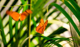 Julia Butterflies. Two Julia Butterflies  in a butterfly house. One is resting on a leaf while the other is flying towards him Stock Photo