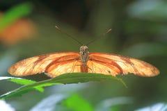 Julia Butterfly Stockfotos