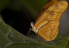Julia Butterfly. Macro photo of a female Julia Butterfly, Dryas iulia stock photo