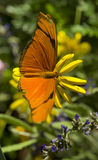 Julia Butterfly Resting on Yellow Garden Flower Stock Images