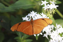 Julia Butterfly. A Julia Butterfly is slurping nectar from the flower Royalty Free Stock Images