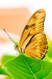 Julia Butterfly Stockfoto