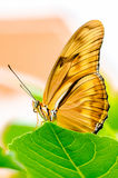 Julia Butterfly Photo stock