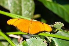 Julia Butterfly Imagem de Stock Royalty Free