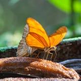 Julia Butterfly Foto de Stock
