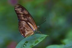 Julia Butterfly Fotografie Stock