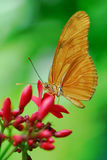 Julia Butterfly. Or Julia Heliconian on a flower (Dryas julia Stock Photos