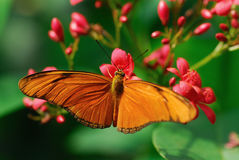 Julia Butterfly. Or Julia Heliconian on a flower (Dryas julia Royalty Free Stock Image