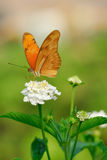 Julia Butterfly. Or Julia Heliconian on a flower (Dryas julia Royalty Free Stock Photo