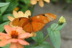 Julia Butterfly aka Dryas iulia. Dryas iulia, commonly called the Julia Butterfly, Julia Heliconian, The Flame, or Flambeau Stock Photo