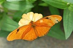 Julia Butterfly aka Dryas iulia. Dryas iulia, commonly called the Julia Butterfly, Julia Heliconian, The Flame, or Flambeau Stock Image