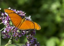 Julia butterfly. Beautiful and colored orange butterfly tropical royalty free stock images