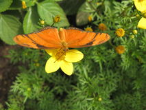 Julia Butterfly (Dryas Iulia). Habitat: In and along the edges of tropical hardwood hammocks Wingspan: 3.0 - 3.5 Range: South Texas, South Florida and the royalty free stock image