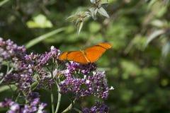 Julia butterfly. Dryas Iulia, beautiful orange tropical butterfly royalty free stock photo