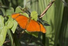 Julia butterfly. Dryas Iulia, beautiful orange tropical butterfly stock photography
