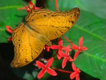 Julia Butterfly en bloemen Stock Foto's