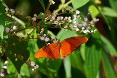 Julia butterfly on flower in rainforest. Royalty Free Stock Images