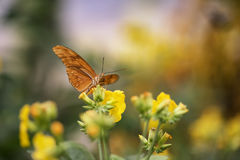Julia butterfly lepidoptra nymphalidae butterfly on vibrant yell Stock Photo