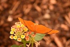 Julia Butterfly orange et noire se reposant sur une fleur jaune photographie stock