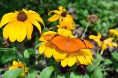 Julia Butterfly på solrosen royaltyfri bild