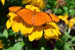Julia Butterfly på solrosen fotografering för bildbyråer