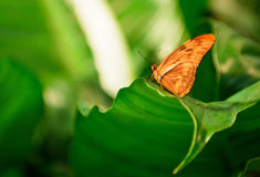 Julia Butterfly. Photo of a Julia Butterfly resting on a leaf in a garden Royalty Free Stock Images
